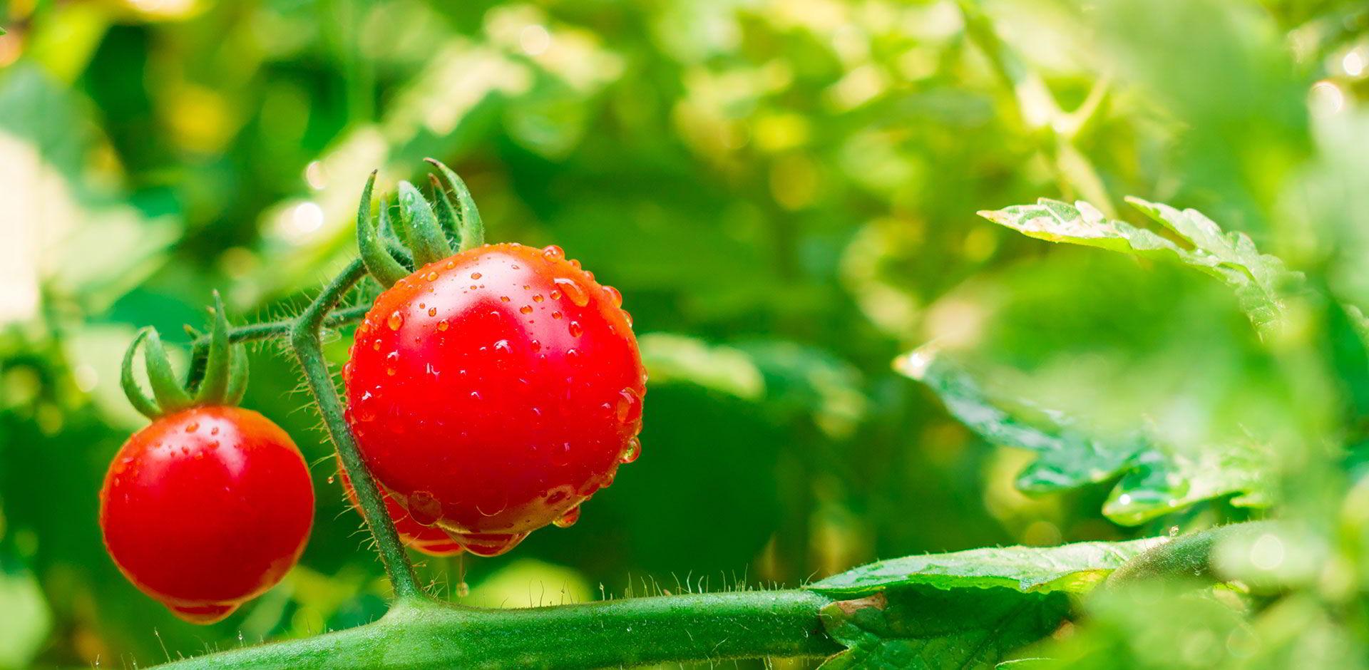Gros plan sur des tomates cerise avec des goutelettes d'eau